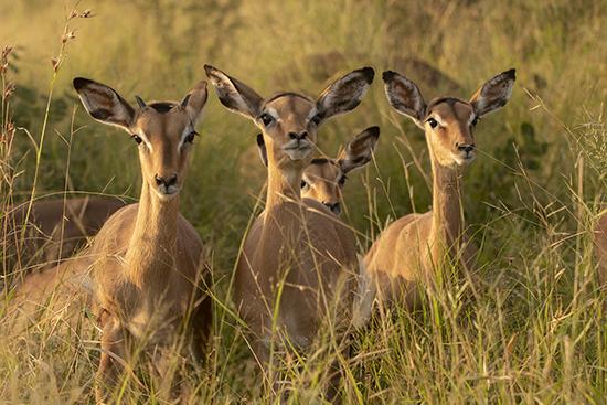 Impalas Kruger