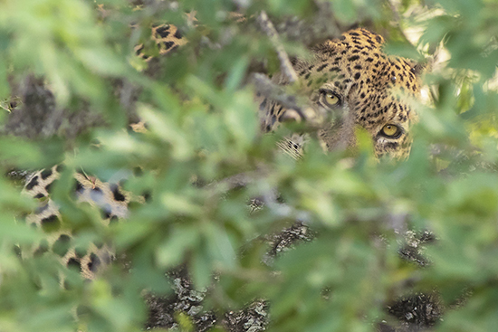 Ojos de Leopardo
