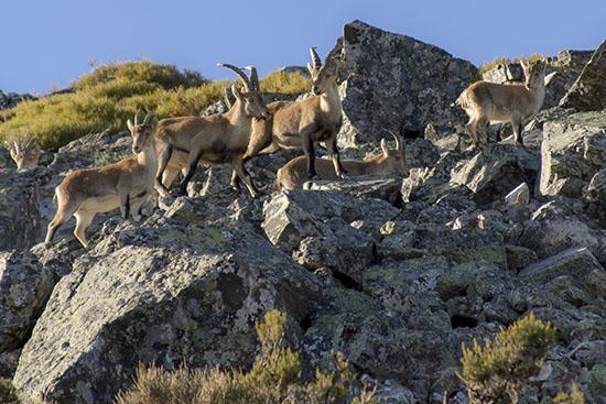 Cabras montesas en la peña de Francia