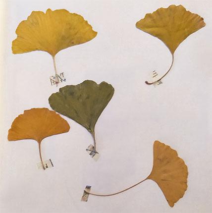 hojas de ginko