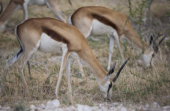 springboks africa